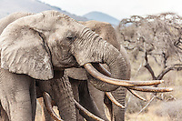 Closeup headshot of big tusker elephants, Kenya, Africa (photo by Wildlife Photographer Matt Considine)