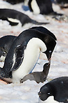 An Adelie Penguin with its chicks. Penguin Colony at Brown Bluff, Antarctic Sound, Antarctica