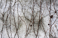 Delicate vine clinging to a grey concrete wall