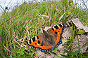 Small Tortoiseshell butterfly {Aglais urticae} feeding on cow dung. Peak District National Park, Derbyshire, UK. September.