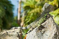 Male and female green iguana pair