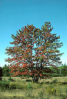 TT12-048z  Red Maple - fall foliage - Acer rubrum