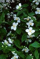 Philadelphus coronarius shrub in bloom, fragrant bush, mockorang