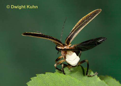 1C24-532z  Firefly Adult - Lightning Bug flying from leaf - Photuris spp.