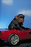 humorous Chinese Shar-Pei in the studio, dressed in biker leather,driving a toy corvette<br />