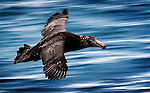 A Northern Giant-petrel, Macronectes halli, glides a meter above the ocean off the New Zealand coast at Kaikoura.