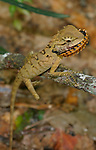 Forest Crested Lizard-Caotes emma