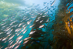 Catalina Island, Channel Islands, California; a large school of Salema (Xenistius californiensis) fish swim amongst the Giant Kelp (Macrocystis pyrifera) forest