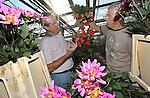 Foto: VidiPhoto<br /> <br /> VALKENBURG &ndash; Aangenaam verrast inspecteert de Scheveningse bloemist Ton Verzijl (links) donderdag de kwaliteit van de dahlia&rsquo;s van kweker Marius Koppert in het Zuid-Hollandse Valkenburg. Het zonnige, warme weer van de laatste weken zorgt voor ideale groeicondities van de seizoensbloemen, die gebruikt worden voor de bloemdecoraties in de Ridderzaal op Prinsjesdag. De fleurige arrangementen staan onder meer pal naast de troon, bij de entree en langs de balustrade van de zaal. Dit jaar zijn de hoofdkleuren rood, roze en lila. De kleurcombinatie wordt elk jaar bepaald door de Staten Generaal. In totaal worden ruim 3.000 dahlia&rsquo;s, asters en gladiolen verwerkt in de koninklijke decoraties, geleverd door diverse geselecteerde kwekers van seizoensbloemen. Na afloop van Prinsjesdag gaan de bloemen naar diverse verzorgings- en verpleeghuizen in de regio Den Haag. Verzijl verzorgt voor het vierde jaar op rij de bloemversiering in de Ridderzaal.