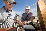Mark Proster and Gregg Doney are banding a young peregrine falcon captured during the Padre Island Peregrine Falcon Survey, autumn, south Padre Island, Texas