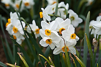 Daffodils (Narcissus),  a sign of spring.