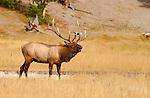 Bull Elk Bugling, Norris Junction, Yellowstone National Park, Wyoming