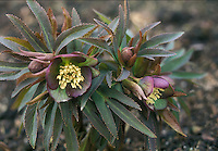 Helleborus torquatus GR20399 with purple and green  flowers