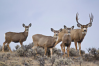 Mule deer buck with does during the rut in Western Wyoming