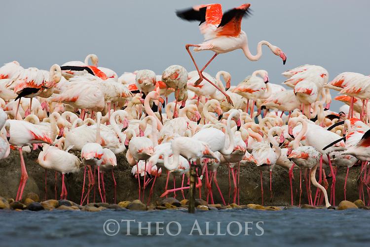 Greater Flamingos (Phoenicopterus roseus), at breeding colony,  estimated 10.000 breeding pairs, Camargue, Rhone Delta,France