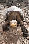 Charles Darwin Research Station, Puerto Ayora, Santa Cruz Island, Galapagos, Ecuador; a Galapagos Giant Tortoise (Geochelone elephantopus) from Espanola Island walking , Copyright © Matthew Meier, matthewmeierphoto.com All Rights Reserved