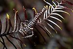 Crinoid shrimp, Periclimenes amboinensis