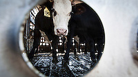 Cattle in a trailer being transported from a feedyard to a slaughterhouse (abattoir) and meatpacking plant in Mead, Kansas. Four such facilities each kill and process between five and six thousand beef cattle every day. A feedyard is part of the factory farming process where animals are fattened up prior to slaughter. Kansas dominates the American beef industry, producing 25% of all beef raised in the USA.