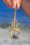 Giant Desert Hairy Scorpion