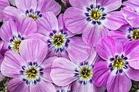 Siberian phlox blossoms, Brooks range mountains, Arctic National Wildlife Refuge, Alaska