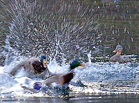 Two mallard drakes fighting over a hen. Little Red River, Arkansas.