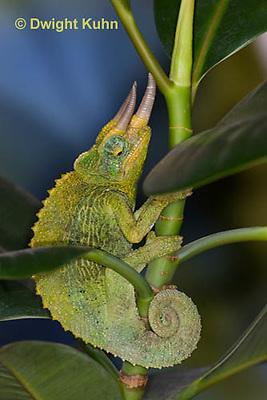 CH35-629z  Male Jackson's Chameleon or Three-horned Chameleon, close-up of face, eyes and three horns, Chamaeleo jacksonii