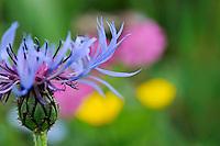 Mountain flowers, Liechtenstein