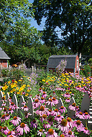 Summer flower garden with Echinacea purpurea purple coneflowers, Heliopsis, Veronicastrum Fascination, Hemerocallis orange daylilies, barn, blue sky on sunny day, perennials in lush bloom
