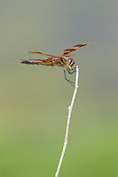 Halloween Pennant (Celithemis eponina) Dragonfly - Male, Wallkill National Wildlife Refuge, Sussex, Sussex County, New Jersey