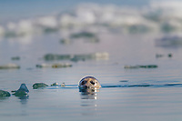 Curious harbor seal pokes its head out of the water of Nellie Juan Lagoon, Prince William Sound, Alaska.