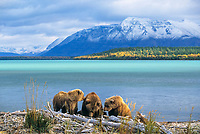 Coastal bear sow and twin yearling cubs, Naknek lake, Mount Katolinat, Katmai National Park, Alaska