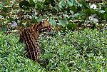 Ocelot, Pantanal region, Brazil