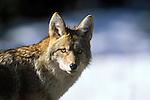 Coyote in winter in Montana