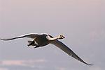 Whooper swan, Cygnus cygnus, adult in flight, flying, Kussharo-ko, Hokkaido Island, Japan, japanese, Asian, wilderness, wild, untamed, ornithology, snow, graceful, majestic, aquatic.Japan....
