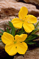 Hard going: Yellow primrose, Oenothera macorcarpa, appears to bloom admit rocks, May, Missouri