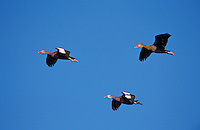 Black-bellied Whistling-Duck, Dendrocygna autumnalis, adults in flight, The Inn at Chachalaca Bend, Cameron County, Rio Grande Valley, Texas, USA, May 2004
