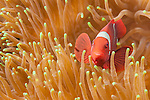 Fakfak Regency, West Papua, Indonesia; a Spinecheek Anemonefish (Premnas biaculeatus) in an orange anemone