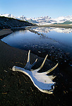 Moose rack, Alsek River, Alaska