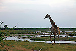 Africa, Botswana, Savute.  Giraffe of Savute.