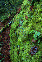 Moss and ferns on rock, Columbia River Gorge, Oregon, USA