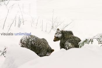 Brown Bear ,Ursus arctos,