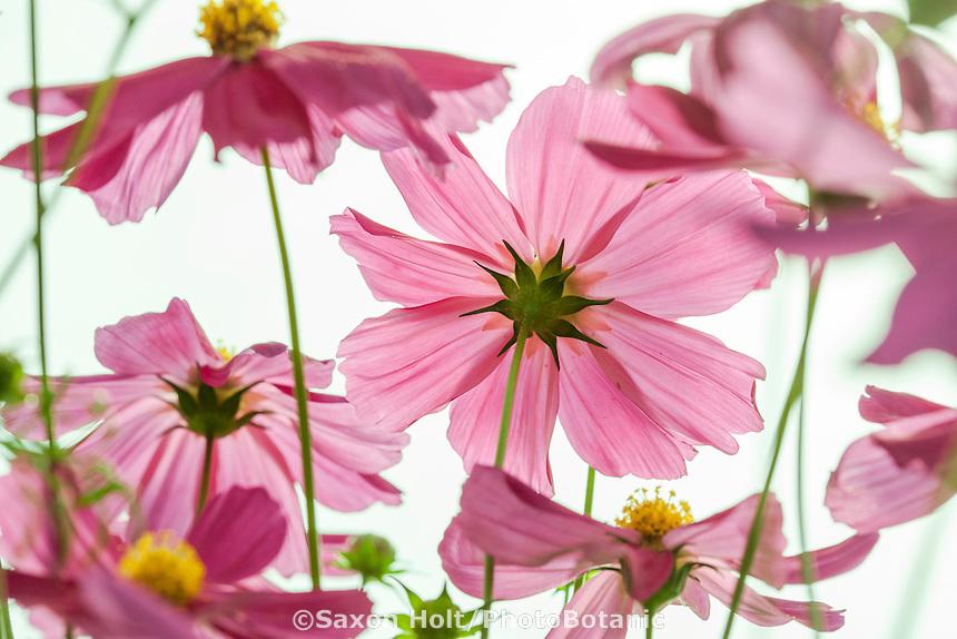 Cosmos bipinnatus 'Cosmix' flower display at California Spring Trials 2015, Thompson & Morgan, Speedling Nursery San Juan Bautista.