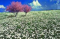 Easatern Redbud trees, Cercis canadensis in field of oxeye daises, Leucanthemum vulgare