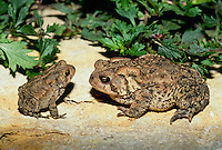 Big and little American toads appear to be deep in conversation