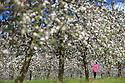 2014_05_06_apple_blossom