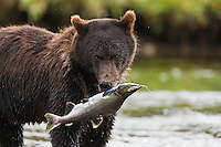 A brown bear (Ursus arctos) feeds on spawning pink salmon in a salmon stream in Windfall Harbor of Admiralty Island National Monument in the Tongass National Forest of Southeast Alaska.  Summer.  Morning.