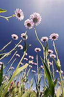Low angle view of mountain daisies, Mount Rainier National Park, Washington, USA