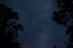 Lyre-tailed nightjar in Manu National Park, Peru, South America