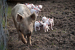 Spring has sprung, and the piglets are poppin' out. Mama and babies come to investigate.