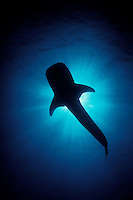 The unmistakable silhouette of a Whale Shark, Rhincodon typus. Reaching over 40 feet in length, whale sharks are the largest of all fish, yet are gentle filter feeders, straining plankton and small fish from the water with their gill rakers. Richelieu Rock, Thailand, Andaman Sea